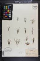 Sagina decumbens subsp. decumbens image