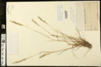 Image of Eragrostis atrovirens
