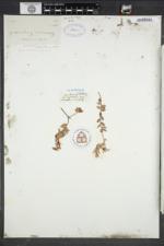 Vaccinium macrocarpon image