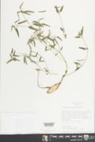 Euphorbia macropus image