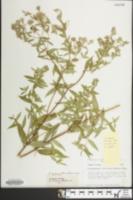 Image of Pycnanthemum verticillatum