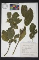 Image of Rhamnus alpina