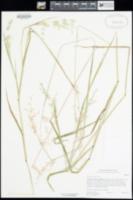 Image of Ehrharta longiflora