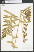 Osmunda claytoniana image