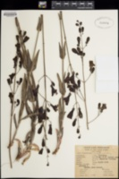 Penstemon nudiflorus image