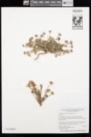 Hedypnois cretica image