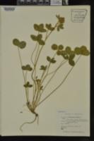 Trifolium pratense image