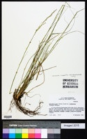 Sporobolus compositus image