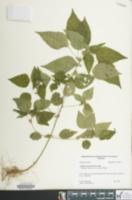Acalypha deamii image