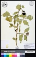 Solanum lasiocarpum image