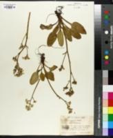 Image of Saxifraga integrifolia