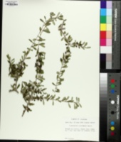 Image of Forestiera pinetorum
