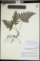 Abrodictyum guineense image