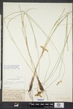 Carex straminea image