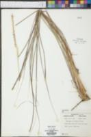 Tripsacum floridanum image