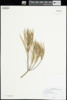 Image of Grevillea pityophylla