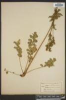 Drymocallis arizonica image