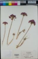 Image of Allium dichlamydeum