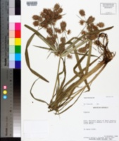 Image of Cyperus flexuosus