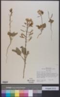 Chylismia eastwoodiae image
