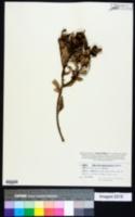 Image of Hibbertia trachyphylla