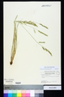 Vulpia octoflora image