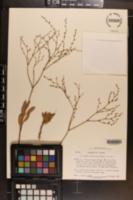 Eriogonum mortonianum image