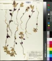 Image of Acanthomintha lanceolata