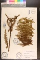 Image of Gleichenia bancroftii