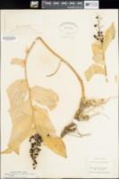 Maianthemum racemosum subsp. amplexicaule image