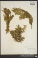 Taxus cuspidata image