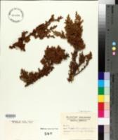 Image of Pilgerodendron uviferum