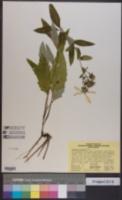 Image of Silphium dentatum