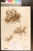 Image of Pectis linearis