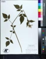 Valeriana pauciflora image