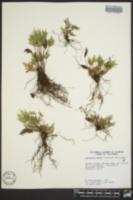 Aspidotis densa image