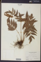 Anemia phyllitidis image