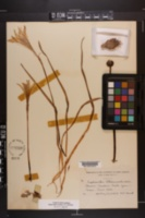 Zephyranthes atamasca image