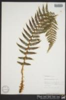 Polystichum andersonii image