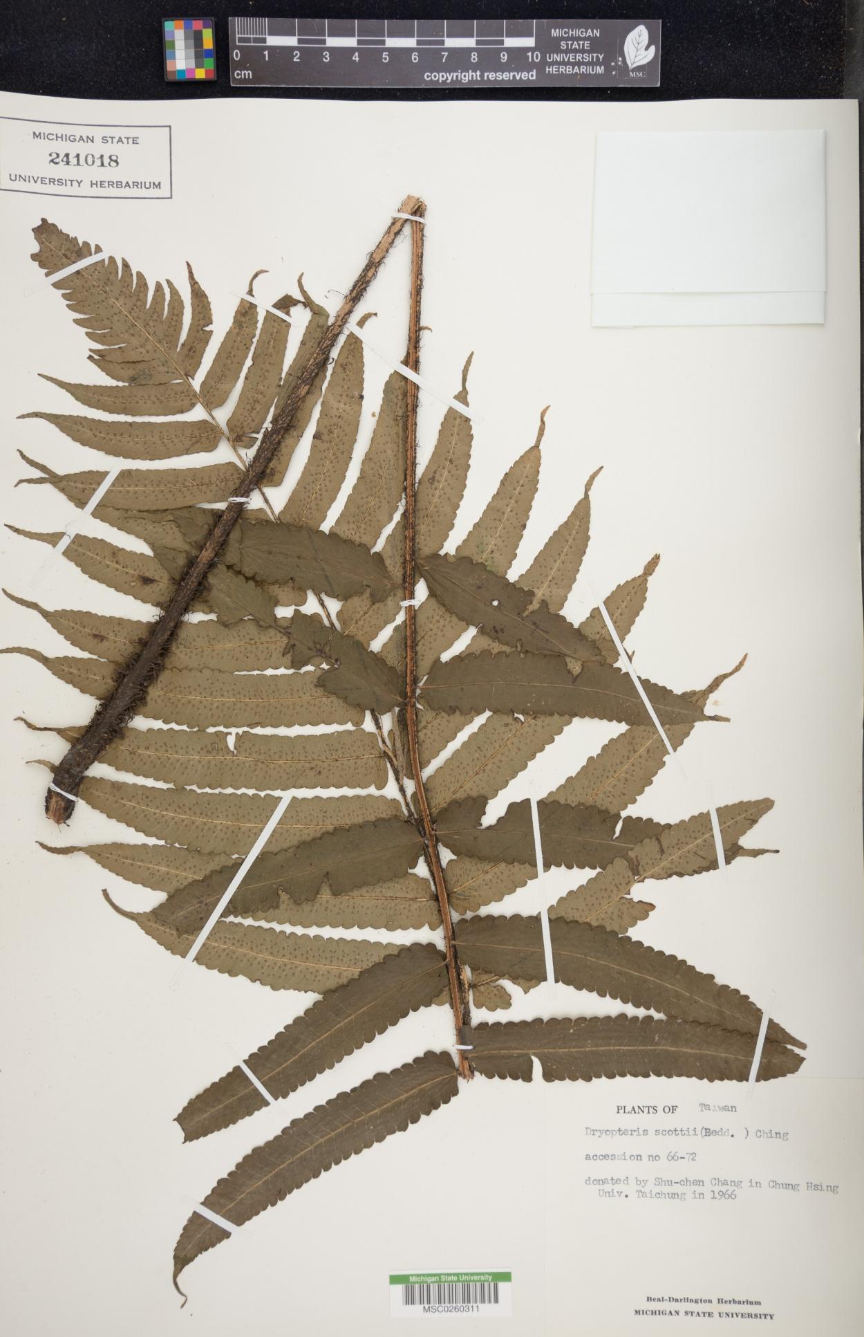 Dryopteris scottii image