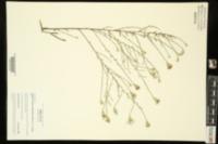 Symphyotrichum turbinellum image