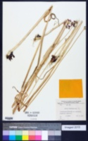 Allium scorodoprasum image