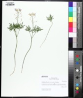 Image of Cardamine dissecta