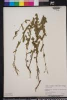 Lactuca hirsuta image