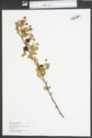 Image of Rubus argutinus