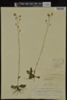Hieracium gronovii image