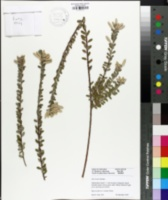 Image of Salix bockii