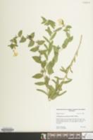 Image of Lithospermum caroliniense