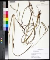 Paspalum laeve var. circulare image