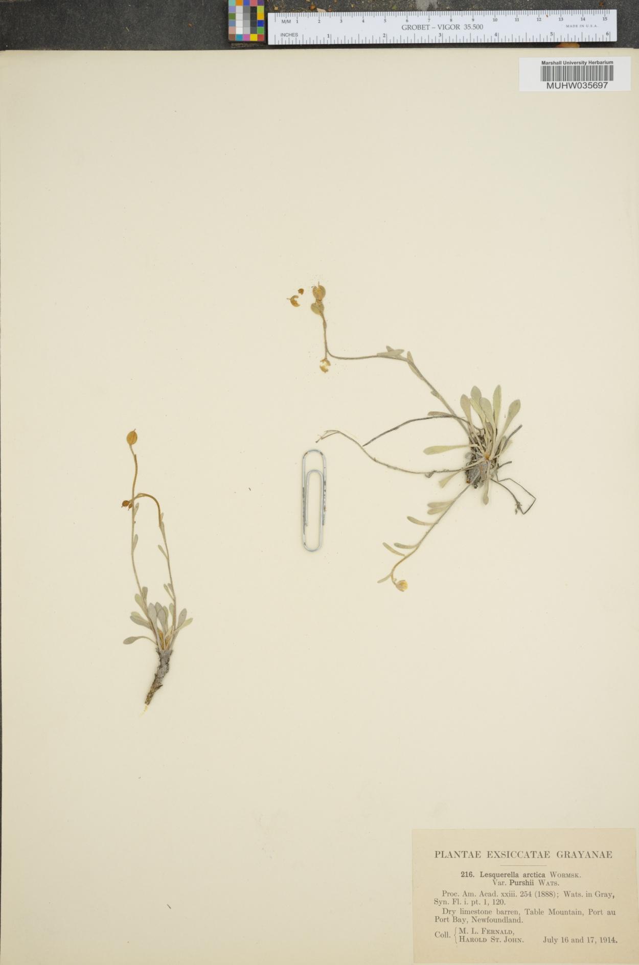 Lesquerella arctica var. purshii image